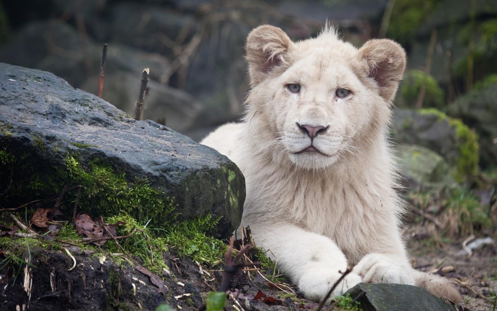 Lion Full HD 1080p Wallpapers ~ LatestWallpaper99