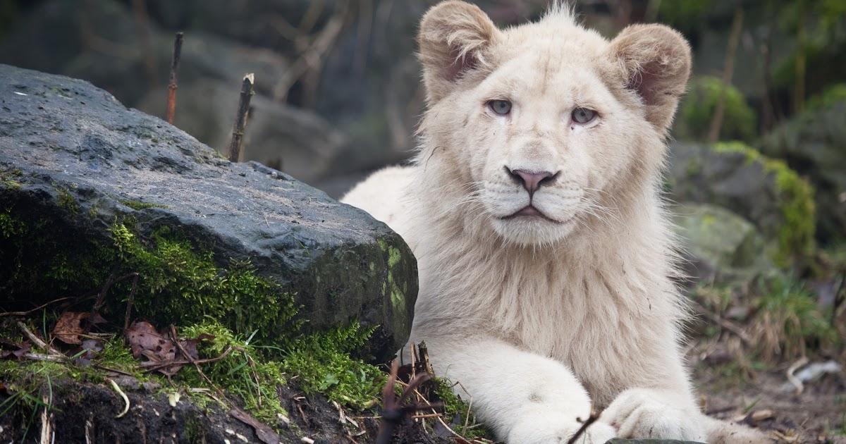 Full HD Beautiful Lion 1080p Wallpaper