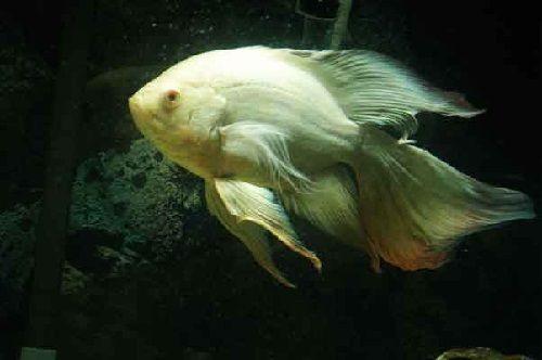 Gambar Ikan Oscar Slayer