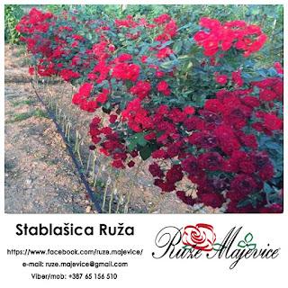 Ruža stablašica (padajuća) - Kapriciozna i neodoljiva kraljica