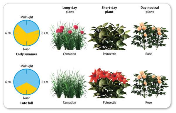 המחשה של ההבדלים בין צמחי יום קצר ליום ארוך