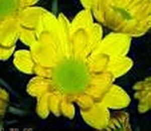Masyarakat tradisional atau para orang renta mungkin agak galau jikalau disebut nama  Ramuan Bunga Seruni Untuk Mengobati Mata Bengkak