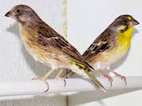 Cara Budidaya Burung Blackthroat Lengkap