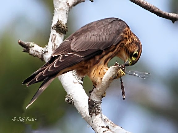 Female Merlin Falcon Eating a Dragonfly