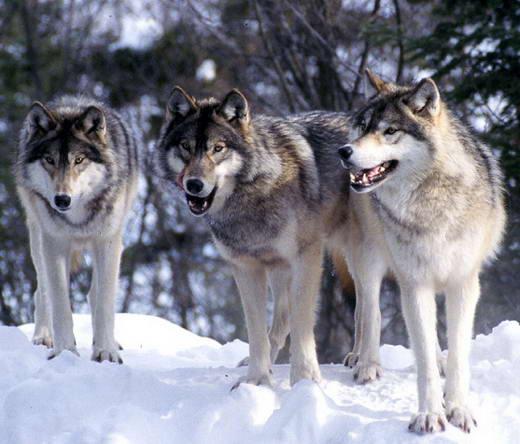 Mengenal Lebih dekat Serigala  angkatigabelas