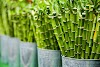What Lucky Bamboo Is A Fortuitous Plant ?