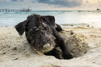 Thumbnail of dog digging in sandy beach