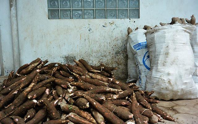 Singkong, bahan baku pembuatan Getuk