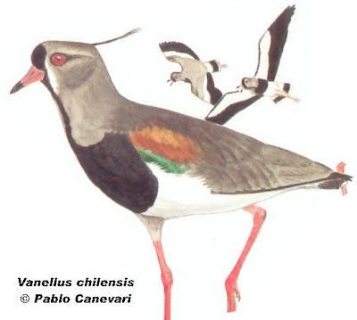 Tero común Vanellus chilensis