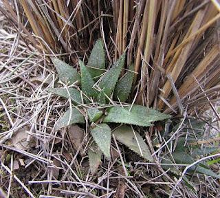 Haworthia mirabilis aff GM 749 Kransriviermond
