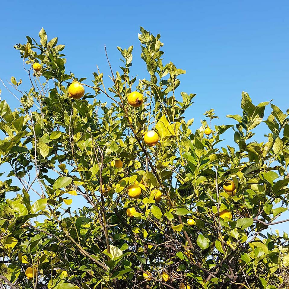 lemon trees in Sicily