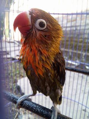 Settingan lomba lovebird paud muda balibu