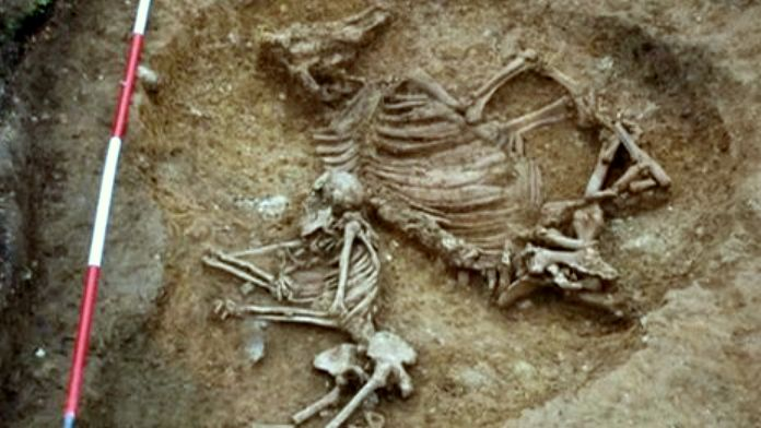 Saxon woman cow buried at Anglo-Saxon Oakington cemetery