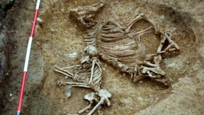 Saxon woman cow buried at Anglo-Saxon Oakington cemetery