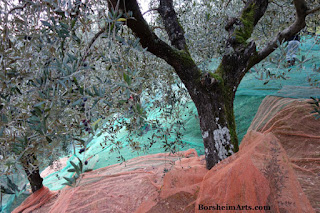 raccolta delle olive Harvest of the Olives Tuscany Setting out Nets