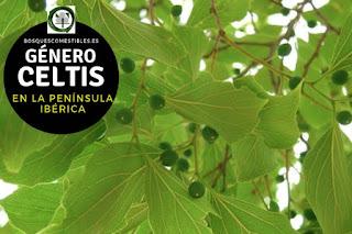 El género Celtis  arboles caducifolios, robustos, llegando hasta 25 m de altura