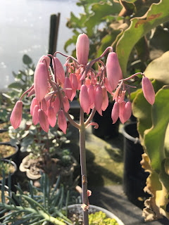 kalanchoe bloom