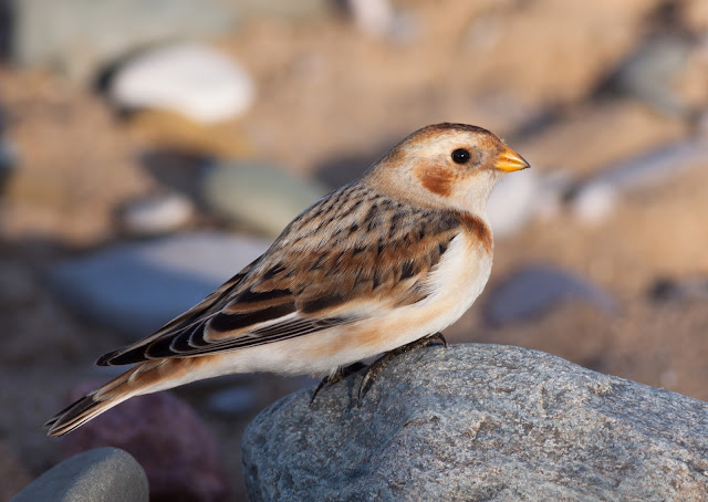 Snow Bunting - Kimnel Bay, North Wales