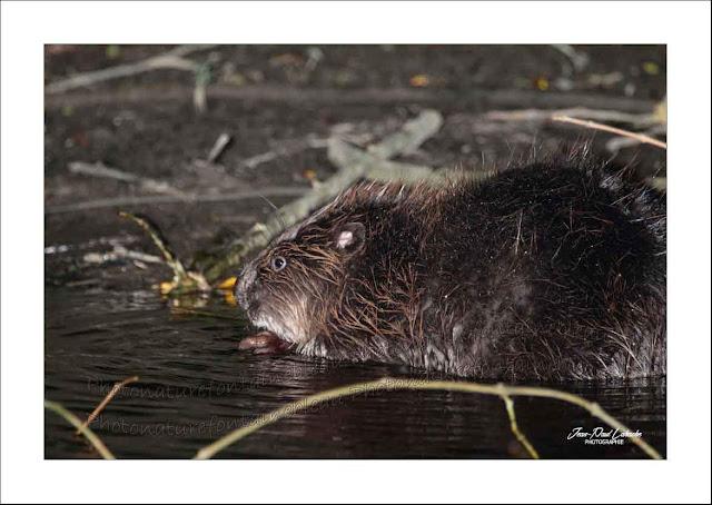 castor-européen-crédit-photo-jean-paul-lahache