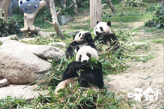 澳門大熊貓館 澳門親子遊