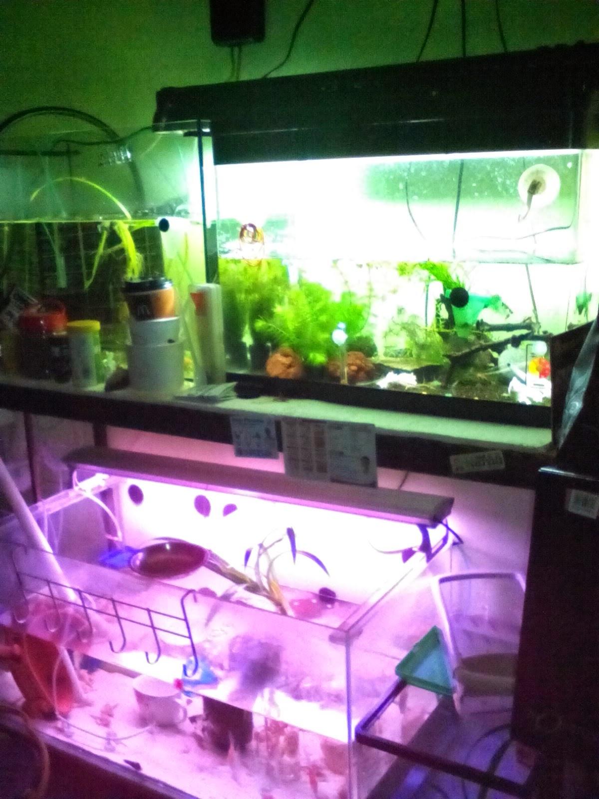 Man Fish Tanks And Aquarium CRS:  Angel and Betta fish tanks