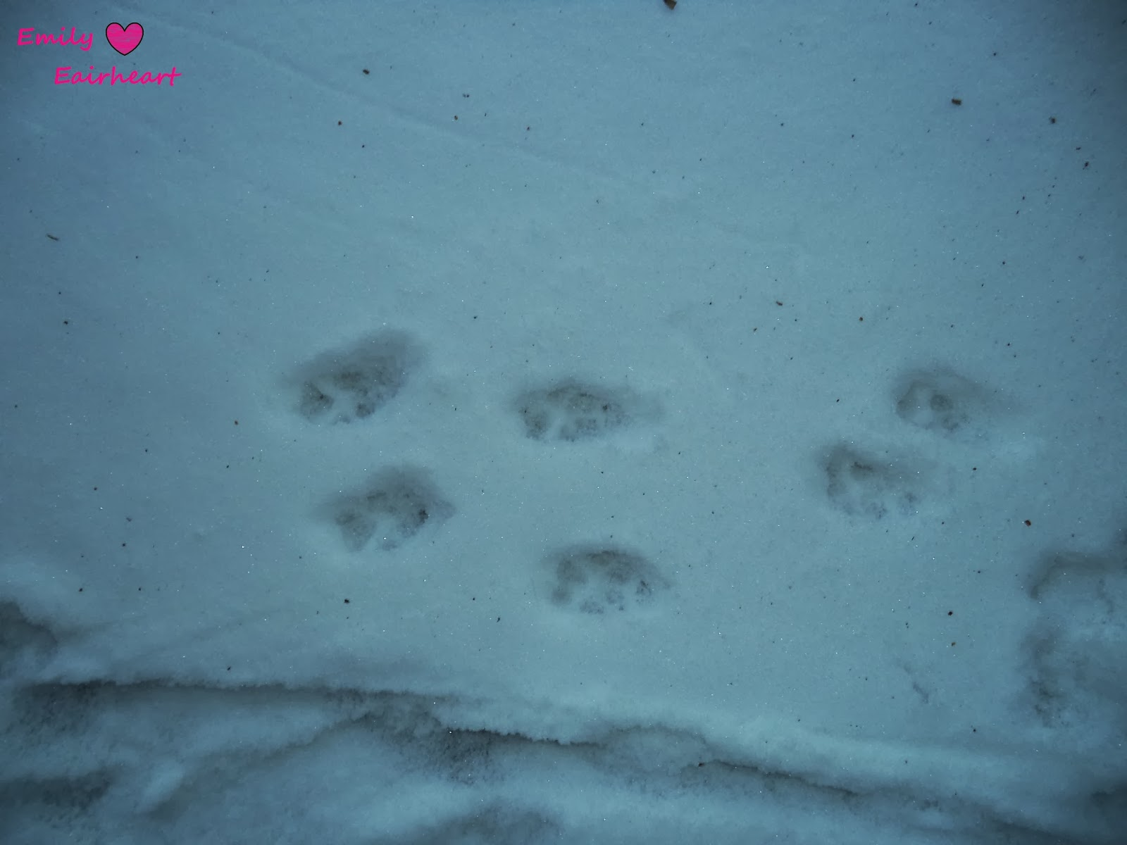 Chihuahua paw prints in the snow.