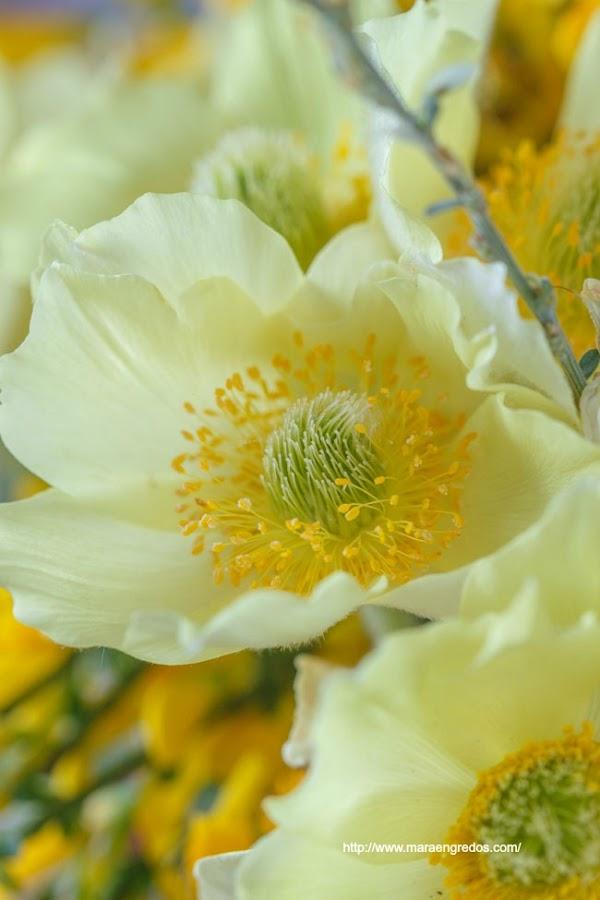 Flores del Pinar de Hoyocasero, monterones. MacroDelDía http://www.maraengredos.com/
