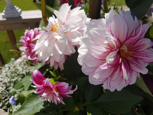 dahlias The camellia