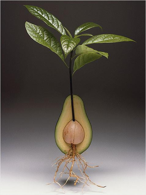 Stop Buying Avocados Because You Can Grow An Avocado Tree In A Small Pot At Home! Here's How!