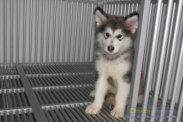 Aneka Anjing: Alaskan malamute