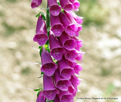 Fleurs : Digitales