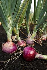 manfaat bawang merah untuk diabetes menurunkan gula darah
