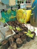 harga bibit pohon tin karawang
