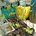 Jual Bibit Pohon Tin di Karawang Harga Terjangkau