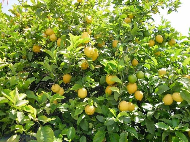 großer Zitronenbaum