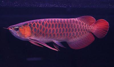 cara budidaya ikan hias air tawar,air tawar di aquarium,air laut,hias air tawar,guppy,yang mudah dipelihara,beternak ikan hias,air tawar di lahan sempit,