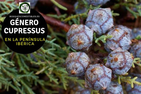 Lista de Especies del Género Cupressus, Ciprés, Familia Cupressaceae en la Península Ibérica