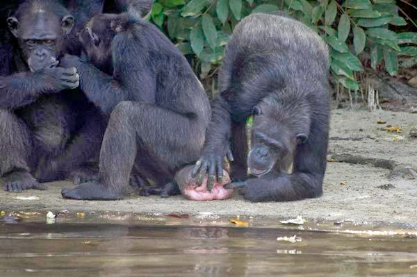 West Africa Chimpanzees