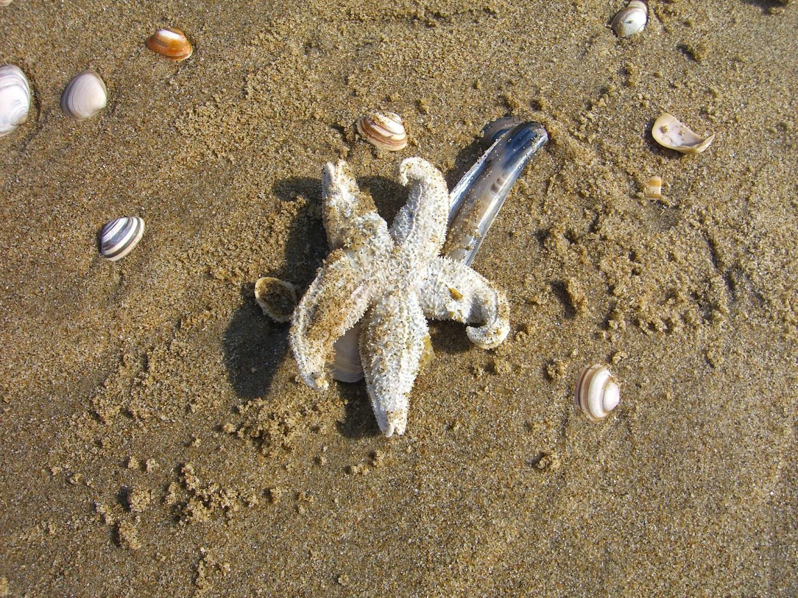 Zeester op het strand van Scheveningen met wat schelpen eromheen.