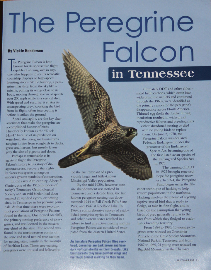 the increasing population of peregrine falcons in the wild