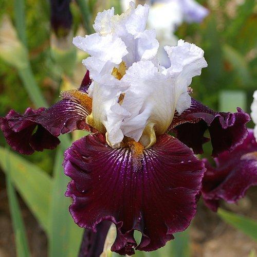 Iris 'Pesselières'