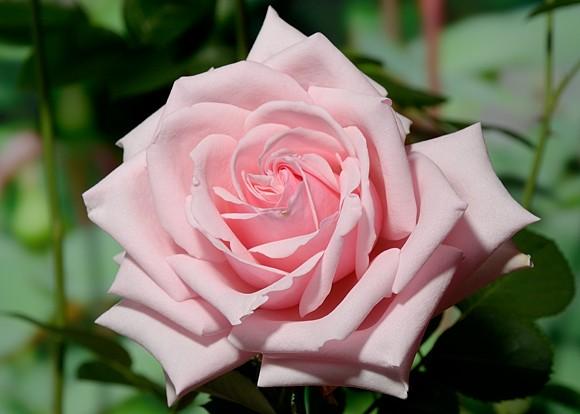 Savoy Hotel rose сорт розы фото