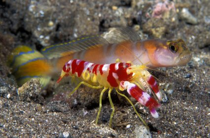 goby fish and snapping shrimp symbiotic relationship examples