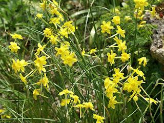Narcissus calcicola - Narcisse