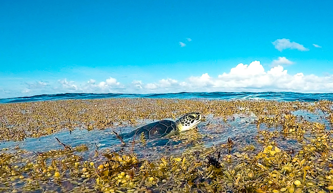 Megafauna, such as sea turtles, large fishes and seabirds, rely upon Sargassum mats as spawning and foraging grounds, as well as nursery habitat for juveniles. Photo credit: Lindsay Martin