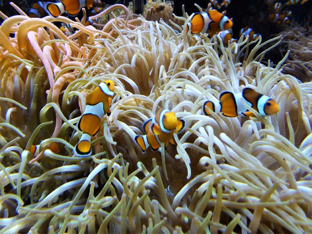 Museo Oceanográfico de Mónaco, peces payaso