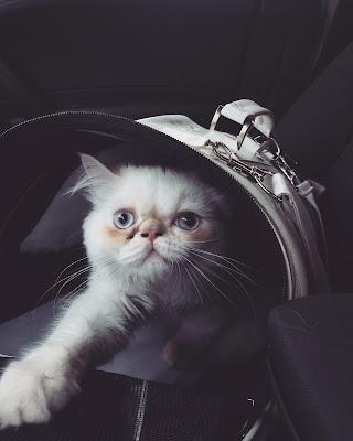 latte kedi