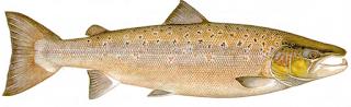 Mature Male - Jenis Jenis Ikan Salmon
