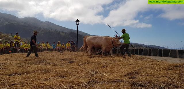 Los más pequeños del municipio participan en una mañana de trilla tradicional en Tijarafe
