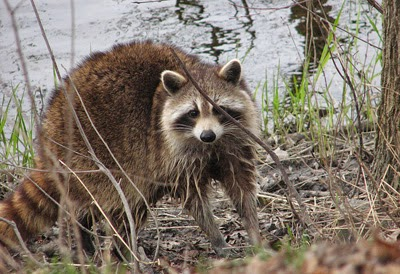 Synapsida: Eau de Raccoon